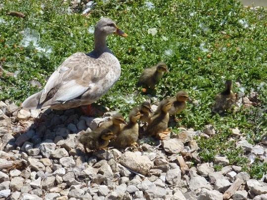 Les canards du lac à l'entrée.