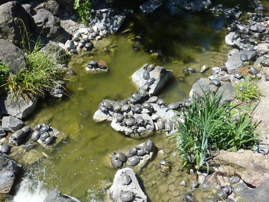 Les tortues d'eau.