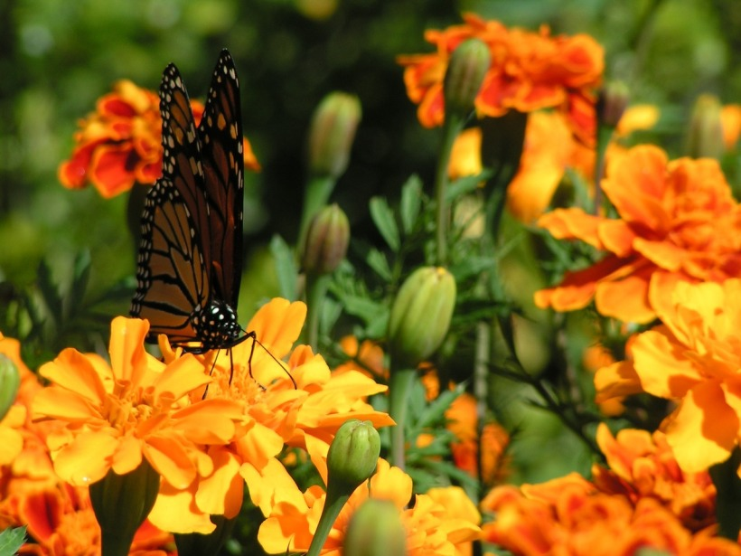 marigolds-1174656_1280.jpg